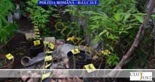 cultura cannabis cluj (2)