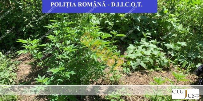 Două culturi de canabis au fost descoperite de polițiștii BCCO Cluj la Dăbâca