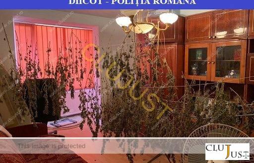 Plantele de cannabis culese de pe malul unui râu, puse la uscat într-un apartament din Baia Mare