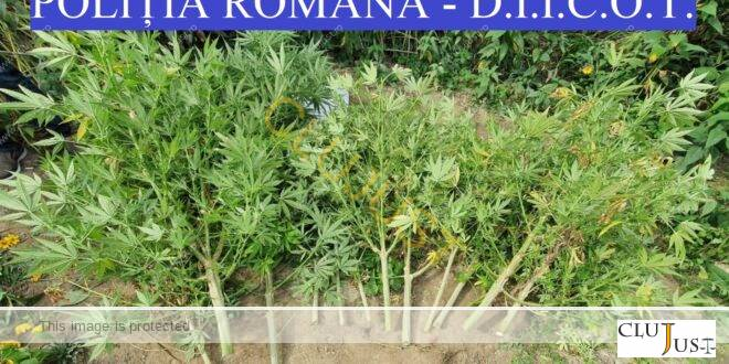 Cultură de 22 plante de cannabis la Dej. Doi inculpați, tată și fiu, arestați