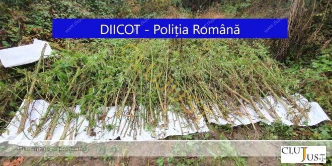 Perchezițiii DIICOT în Cluj, Alba și Bistrița-Năsăud. Șase culturi de cannabis, 142 kg de plante găsite